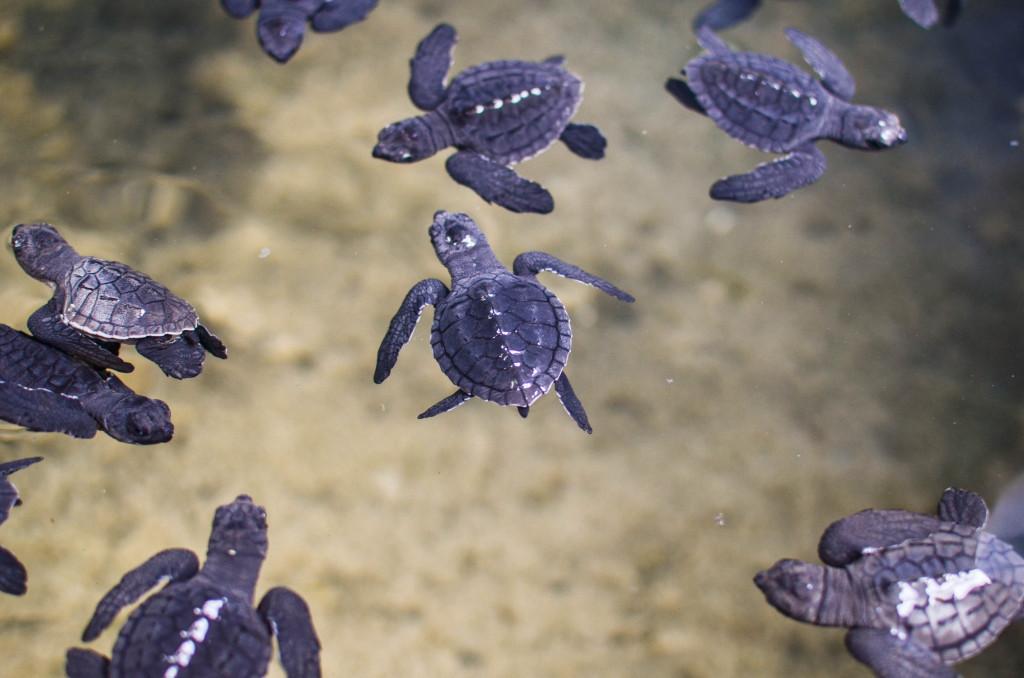 черепахи на шри ланке