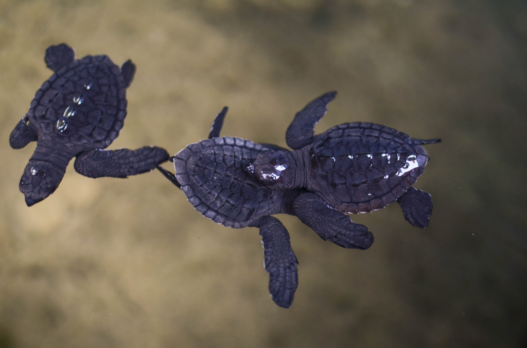 черепаховая ферма шри ланка черепашки