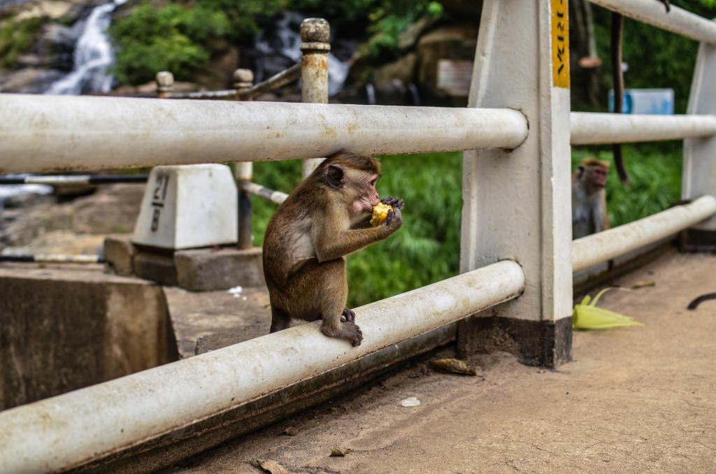 rawana falls обезьянка