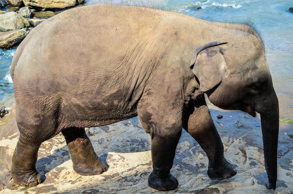 Пинавелла слоновий питомник