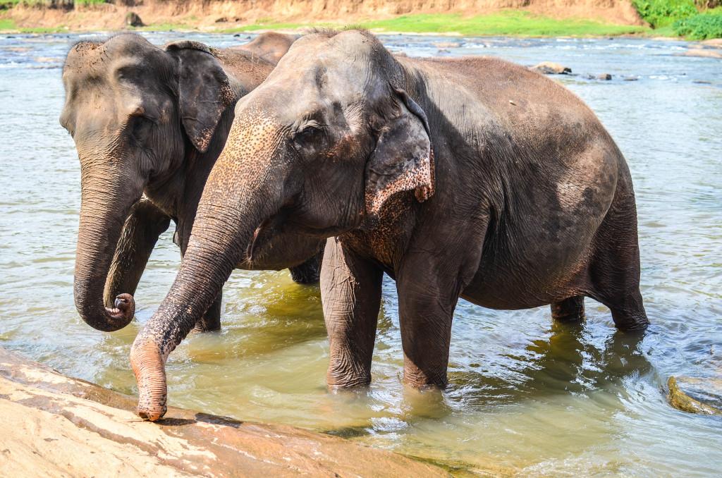 слоны в шри ланке