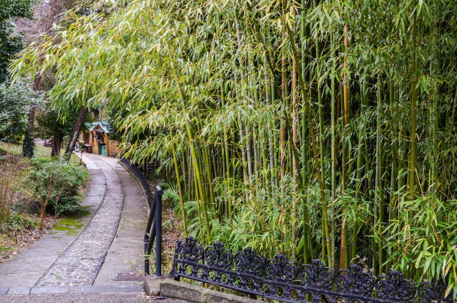 Бамбук в Сочинском дендрарии